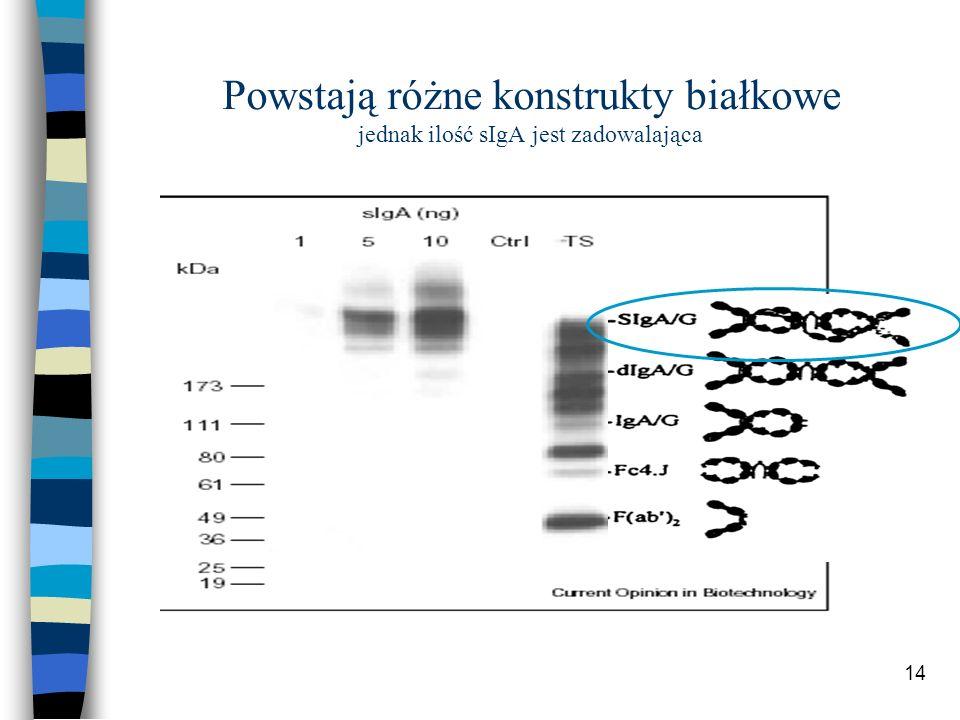 14 Powstają różne konstrukty białkowe jednak ilość sIgA jest zadowalająca