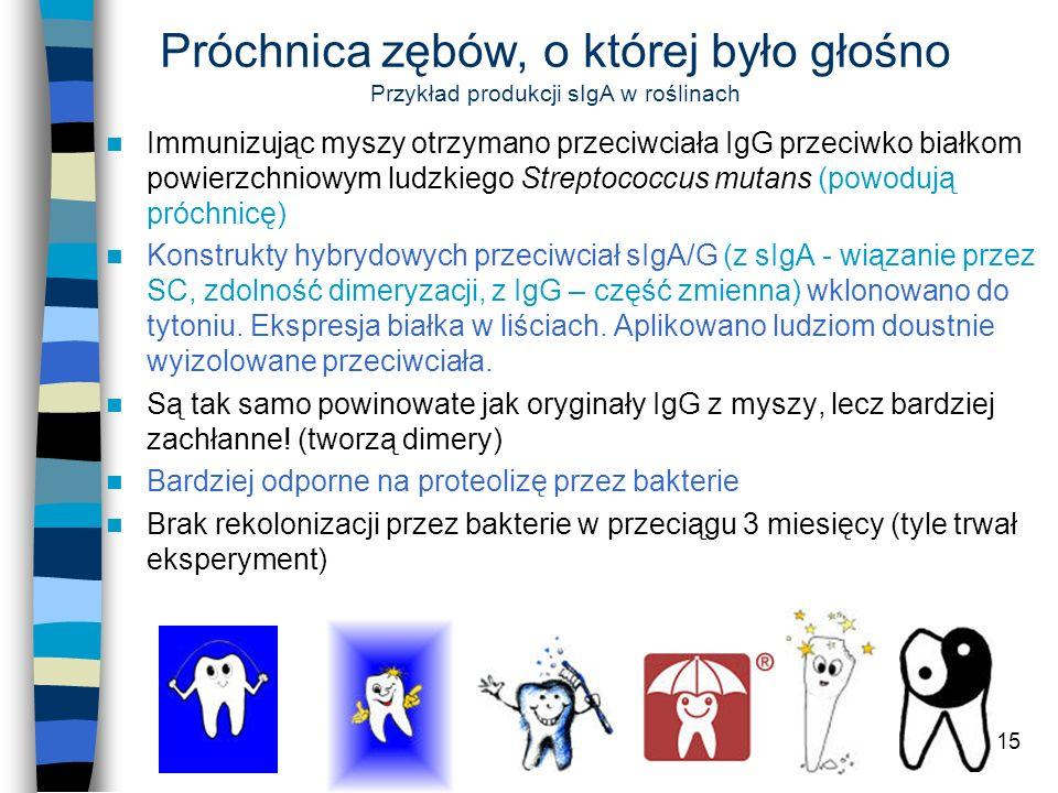 15 Próchnica zębów, o której było głośno Przykład produkcji sIgA w roślinach Immunizując myszy otrzymano przeciwciała IgG przeciwko białkom powierzchn