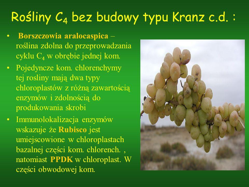 Rośliny C 4 bez budowy typu Kranz c.d. : Borszczowia aralocaspica – roślina zdolna do przeprowadzania cyklu C 4 w obrębie jednej kom. Pojedyncze kom.
