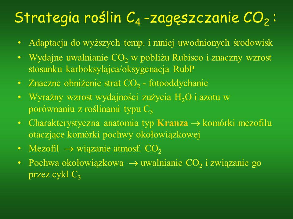 Strategia roślin C 4 -zagęszczanie CO 2 : Adaptacja do wyższych temp. i mniej uwodnionych środowisk Wydajne uwalnianie CO 2 w pobliżu Rubisco i znaczn