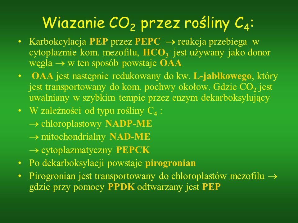 Wiazanie CO 2 przez rośliny C 4 : Karbokcylacja PEP przez PEPC reakcja przebiega w cytoplazmie kom. mezofilu, HCO 3 - jest używany jako donor węgla w