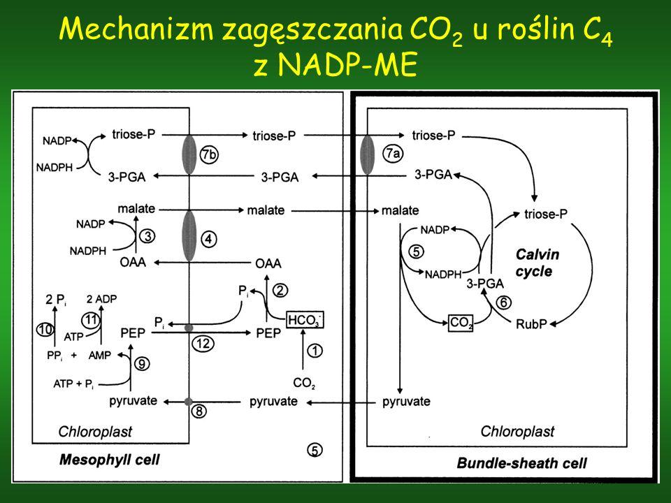 Mechanizm zagęszczania CO 2 u roślin C 4 z NADP-ME