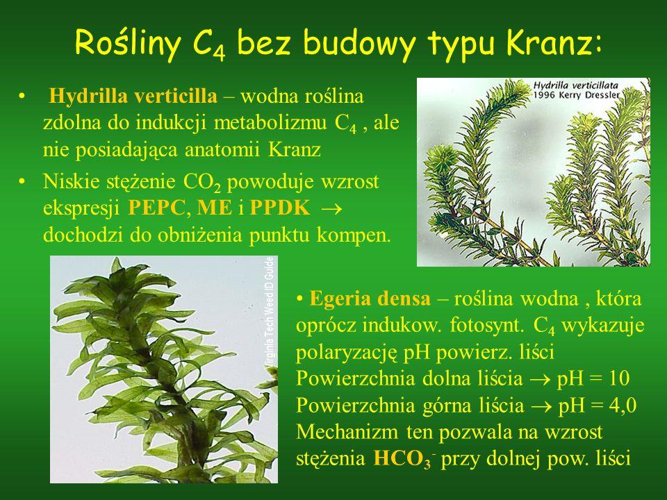 Rośliny C 4 bez budowy typu Kranz: Hydrilla verticilla – wodna roślina zdolna do indukcji metabolizmu C 4, ale nie posiadająca anatomii Kranz Niskie s