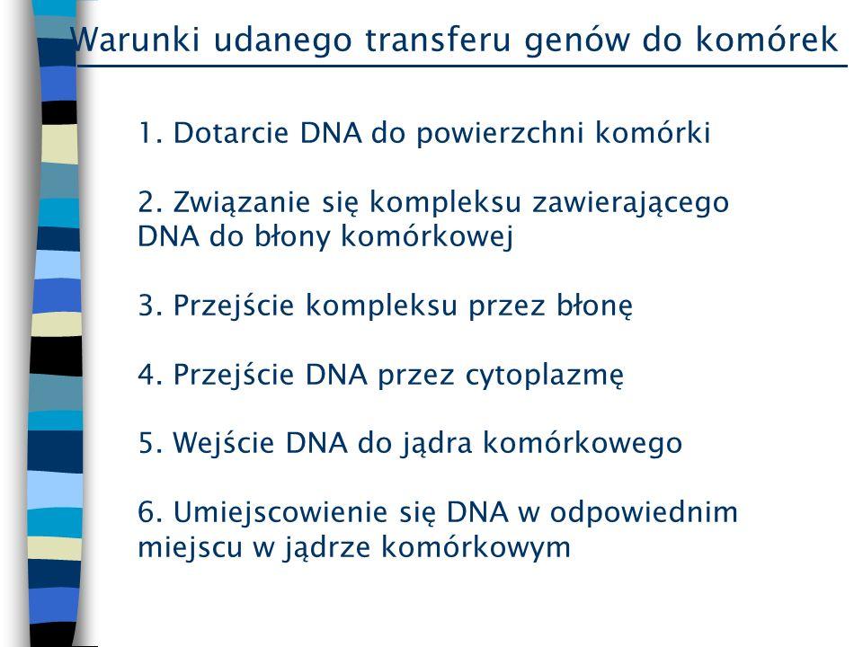 1. Dotarcie DNA do powierzchni komórki 2. Związanie się kompleksu zawierającego DNA do błony komórkowej 3. Przejście kompleksu przez błonę 4. Przejści