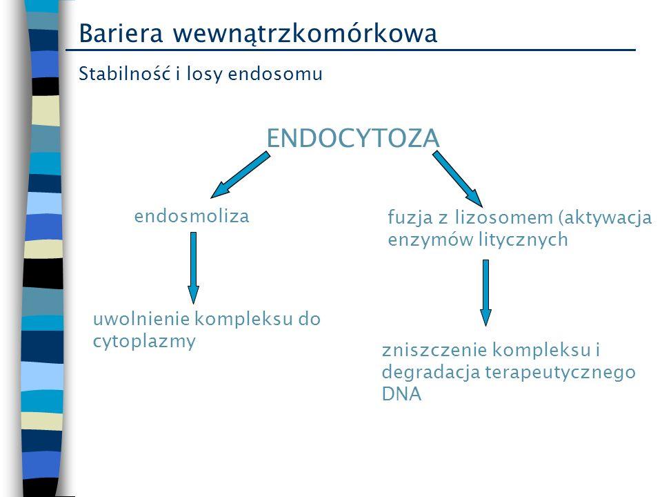 Bariera wewnątrzkomórkowa Stabilność i losy endosomu ENDOCYTOZA endosmoliza fuzja z lizosomem (aktywacja enzymów litycznych uwolnienie kompleksu do cy