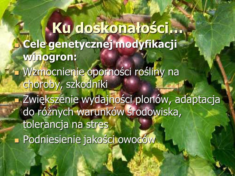Ku doskonałości… Cele genetycznej modyfikacji winogron: Cele genetycznej modyfikacji winogron: Wzmocnienie oporności rośliny na choroby, szkodniki Wzm