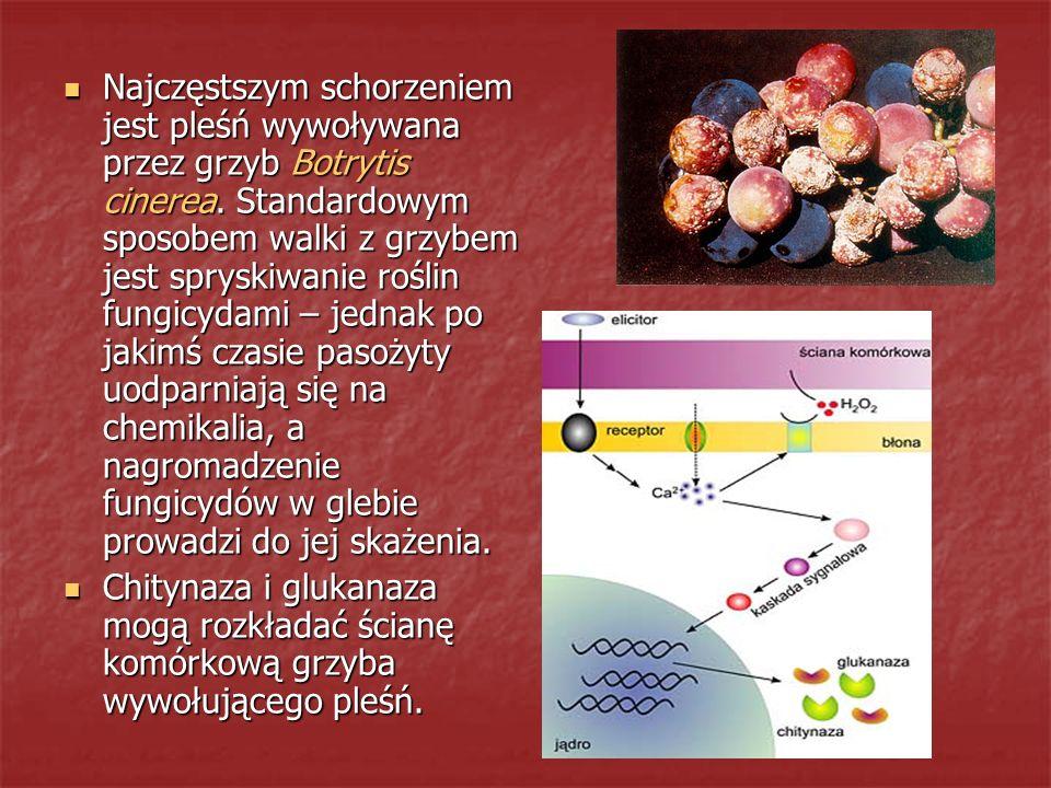 Najczęstszym schorzeniem jest pleśń wywoływana przez grzyb Botrytis cinerea. Standardowym sposobem walki z grzybem jest spryskiwanie roślin fungicydam