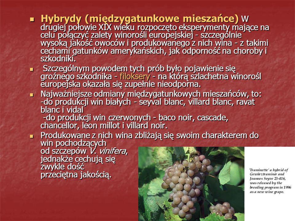 Hybrydy (międzygatunkowe mieszańce) W drugiej połowie XIX wieku rozpoczęto eksperymenty mające na celu połączyć zalety winorośli europejskiej - szczeg