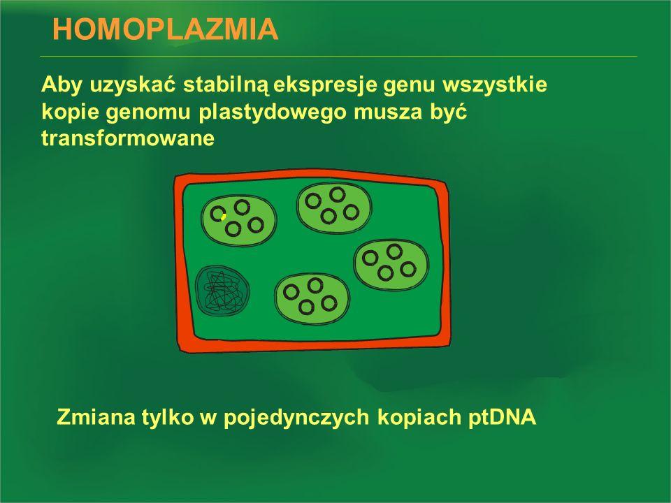 HOMOPLAZMIA Aby uzyskać stabilną ekspresje genu wszystkie kopie genomu plastydowego musza być transformowane Zmiana tylko w pojedynczych kopiach ptDNA