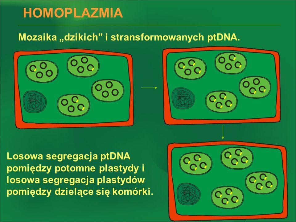 HOMOPLAZMIA Mozaika dzikich i stransformowanych ptDNA. Losowa segregacja ptDNA pomiędzy potomne plastydy i losowa segregacja plastydów pomiędzy dzielą