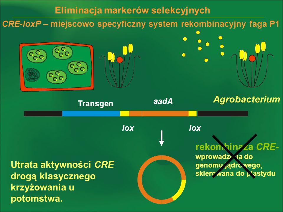 lox Eliminacja markerów selekcyjnych lox aadA Transgen rekombinaza CRE- wprowadzona do genomu jądrowego, skierowana do plastydu Utrata aktywności CRE