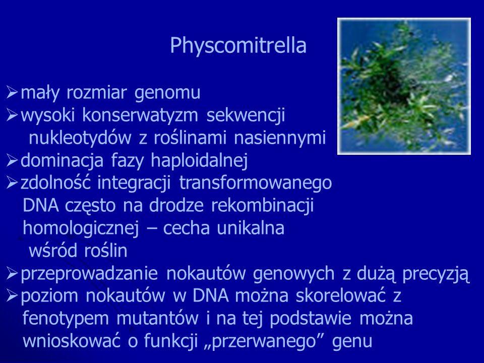 Physcomitrella mały rozmiar genomu wysoki konserwatyzm sekwencji nukleotydów z roślinami nasiennymi dominacja fazy haploidalnej zdolność integracji tr