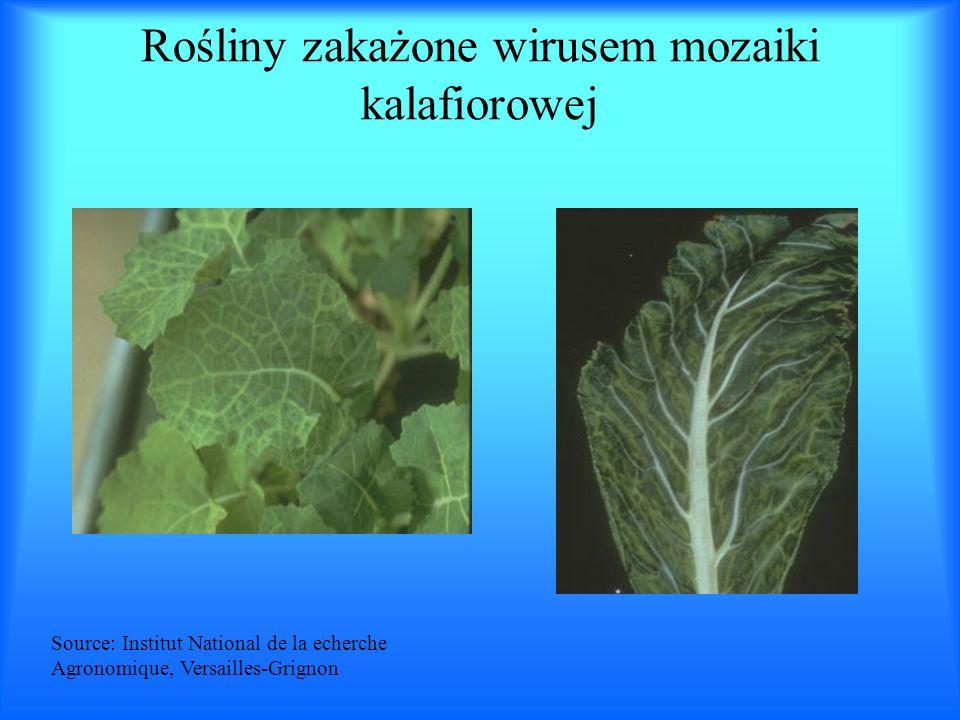 Rośliny zakażone wirusem mozaiki kalafiorowej Source: Institut National de la echerche Agronomique, Versailles-Grignon