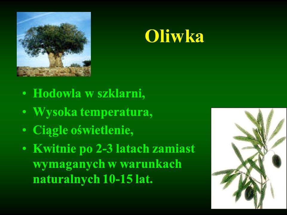 Oliwka Hodowla w szklarni, Wysoka temperatura, Ciągle oświetlenie, Kwitnie po 2-3 latach zamiast wymaganych w warunkach naturalnych 10-15 lat.