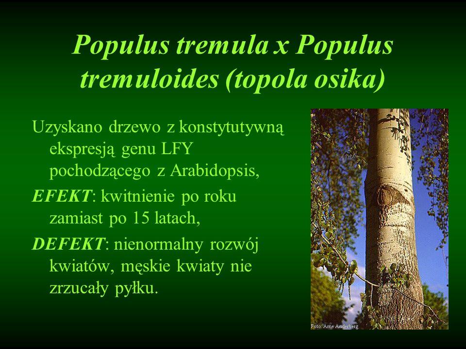 Populus tremula x Populus tremuloides (topola osika) Uzyskano drzewo z konstytutywną ekspresją genu LFY pochodzącego z Arabidopsis, EFEKT: kwitnienie