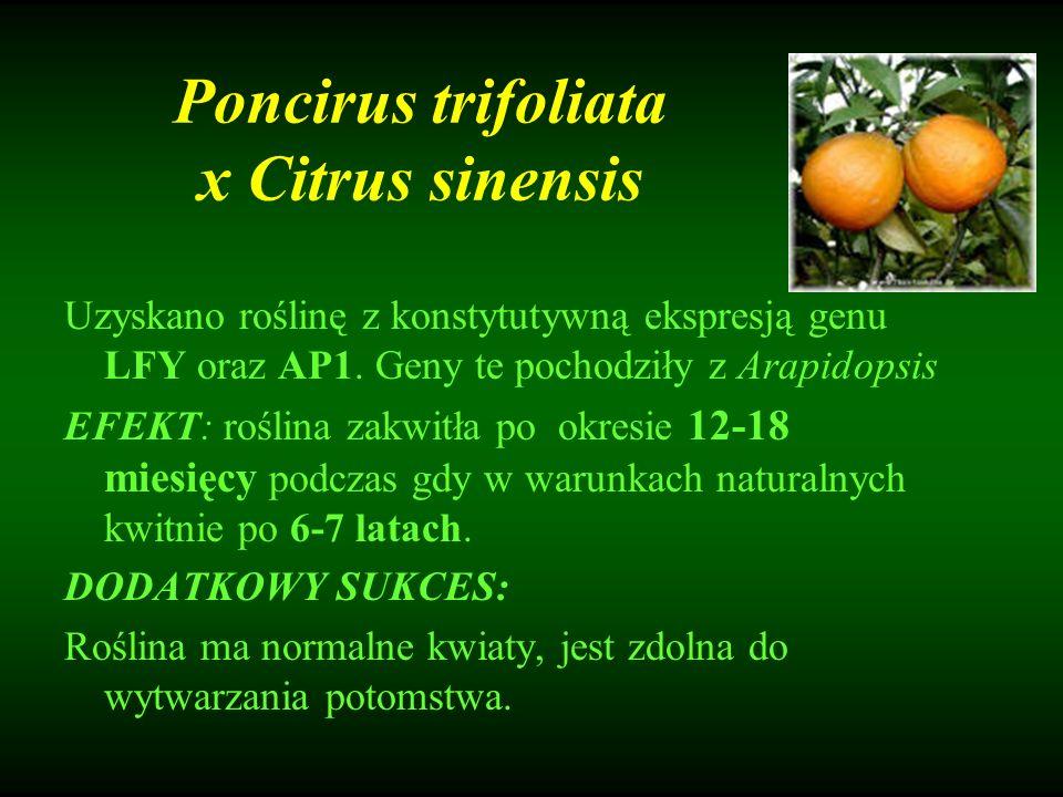Poncirus trifoliata x Citrus sinensis Uzyskano roślinę z konstytutywną ekspresją genu LFY oraz AP1. Geny te pochodziły z Arapidopsis EFEKT: roślina za