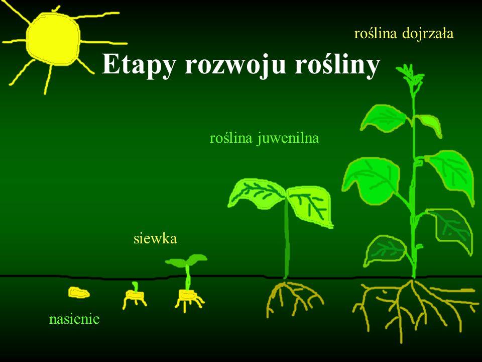 nasienie siewka roślina juwenilna roślina dojrzała Etapy rozwoju rośliny