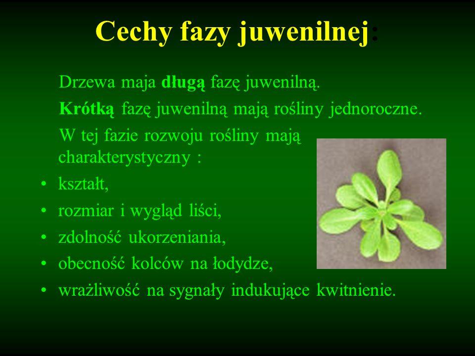 Eliminacja fazy juwenilnej przyśpieszy kwitnienie i wydanie nasion u rośliny