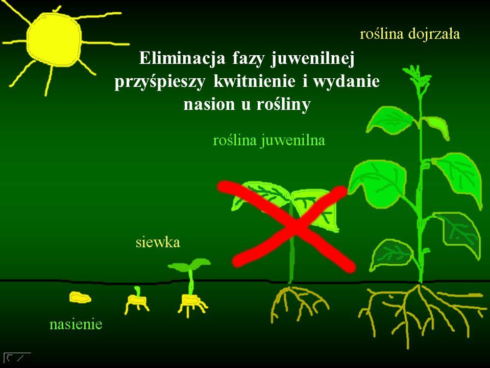 Otrzymane transgeniczne drzewa są: płodne, mają krótki czas generacji, zachowały zdolność indukcji kwitnienia przez warunki środowiska, Mogą więc utworzyć szybko rozmnażające się linie roślin transgenicznych wykorzystywane do dalszych badań genetycznych.
