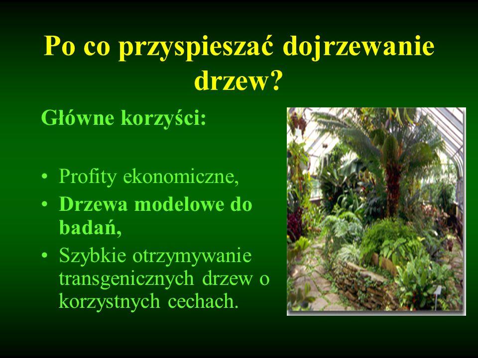 Po co przyspieszać dojrzewanie drzew? Główne korzyści: Profity ekonomiczne, Drzewa modelowe do badań, Szybkie otrzymywanie transgenicznych drzew o kor
