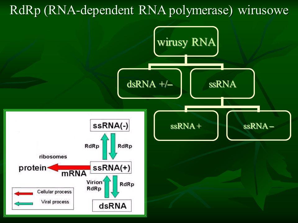 RdRp (RNA-dependent RNA polymerase) wirusowe wirusy RNA dsRNA +/– ssRNA ssRNA + ssRNA –