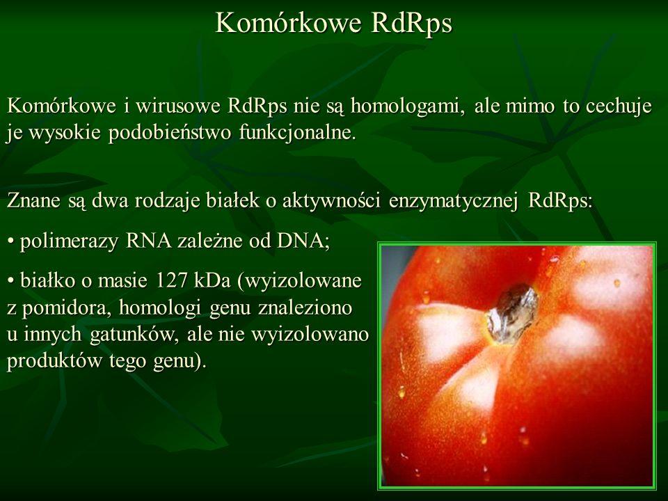 Komórkowe RdRps Komórkowe i wirusowe RdRps nie są homologami, ale mimo to cechuje je wysokie podobieństwo funkcjonalne. Znane są dwa rodzaje białek o