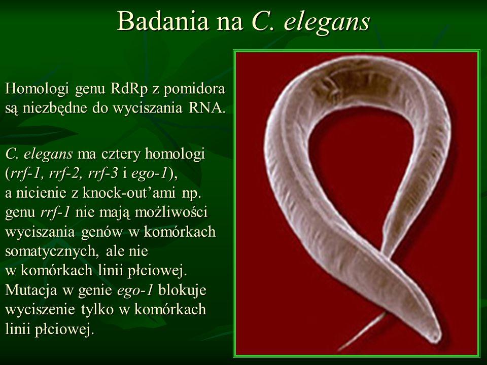 Badania na C. elegans Homologi genu RdRp z pomidora są niezbędne do wyciszania RNA. C. elegans ma cztery homologi (rrf-1, rrf-2, rrf-3 i ego-1), a nic