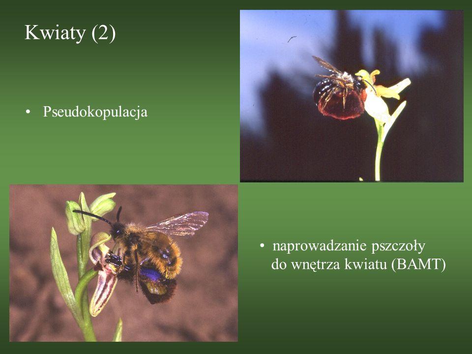Kwiaty (2) Pseudokopulacja naprowadzanie pszczoły do wnętrza kwiatu (BAMT)