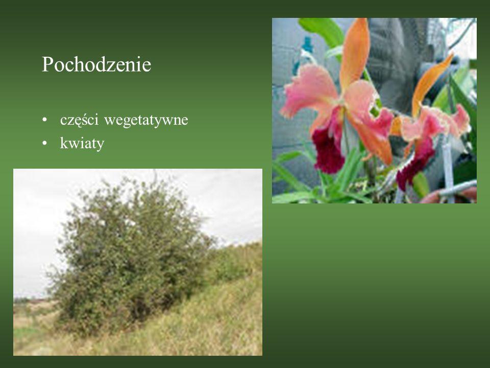 Pochodzenie części wegetatywne kwiaty