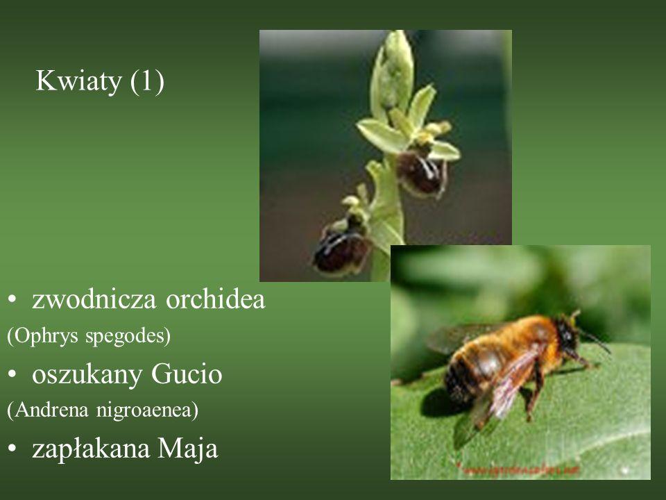 Kwiaty (1) zwodnicza orchidea (Ophrys spegodes) oszukany Gucio (Andrena nigroaenea) zapłakana Maja