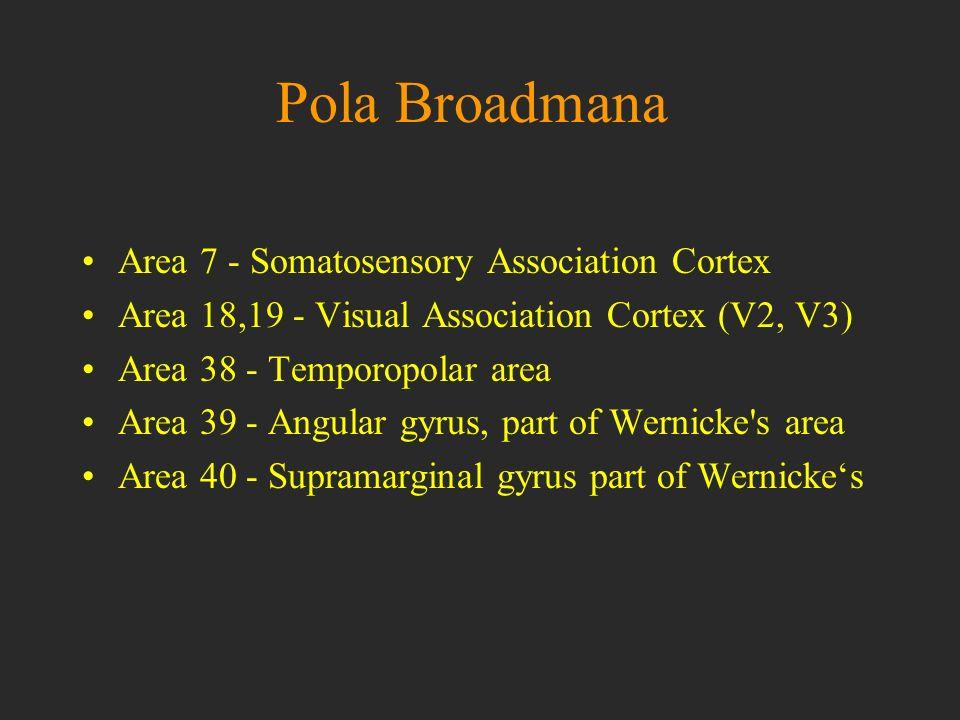Pola Broadmana Area 7 - Somatosensory Association Cortex Area 18,19 - Visual Association Cortex (V2, V3) Area 38 - Temporopolar area Area 39 - Angular