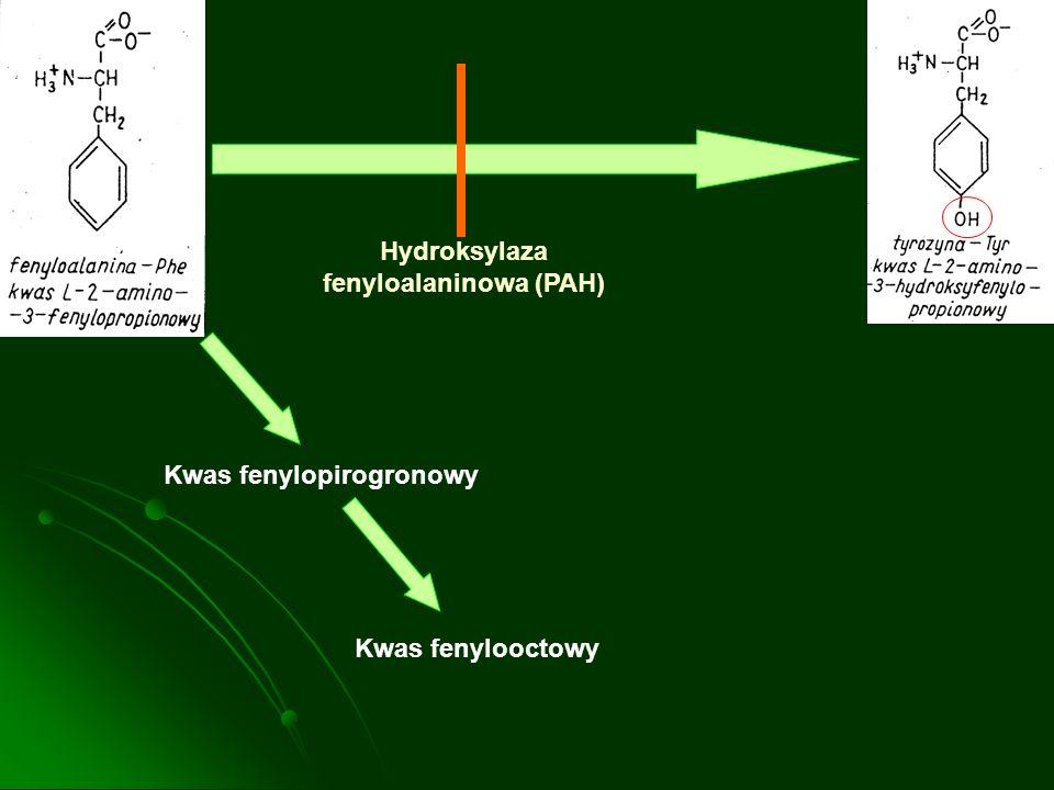 Mutacja genu PAH chromosom 12 Deficyt PAH w wątrobie BH 4 PheTyr Kumulacja Phe DekarboksylacjaTransaminacja Fenyletylamina Kwas fenylopirogronowy Kwas o-hydroksyfenylooctowy Kwas fenylooctowy Zwiększenie Phe w OUN Wpływ na enzymy i transport błonowy Blok transportu aminokwasów przez barierę krew mózg Zaburzenia syntezy i przemian mieliny Zaburzenia syntezy białek Zmniejszenie Tyr i Tryp w OUN Zaburzenia syntezy neurotransmiterów Schemat przedstawiający główne mechanizmy powodujące uszkodzenia ośrodkowego układu nerwowego