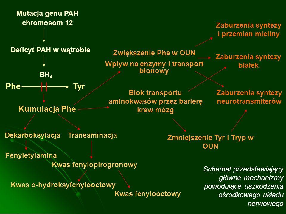Mutacja genu PAH chromosom 12 Deficyt PAH w wątrobie BH 4 PheTyr Kumulacja Phe DekarboksylacjaTransaminacja Fenyletylamina Kwas fenylopirogronowy Kwas