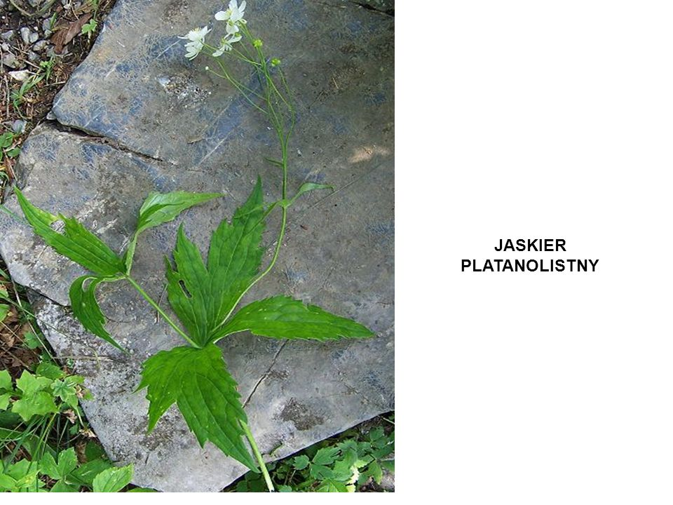 JASKIER PLATANOLISTNY