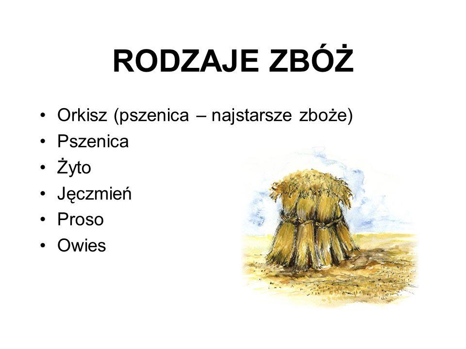 RODZAJE ZBÓŻ Orkisz (pszenica – najstarsze zboże) Pszenica Żyto Jęczmień Proso Owies