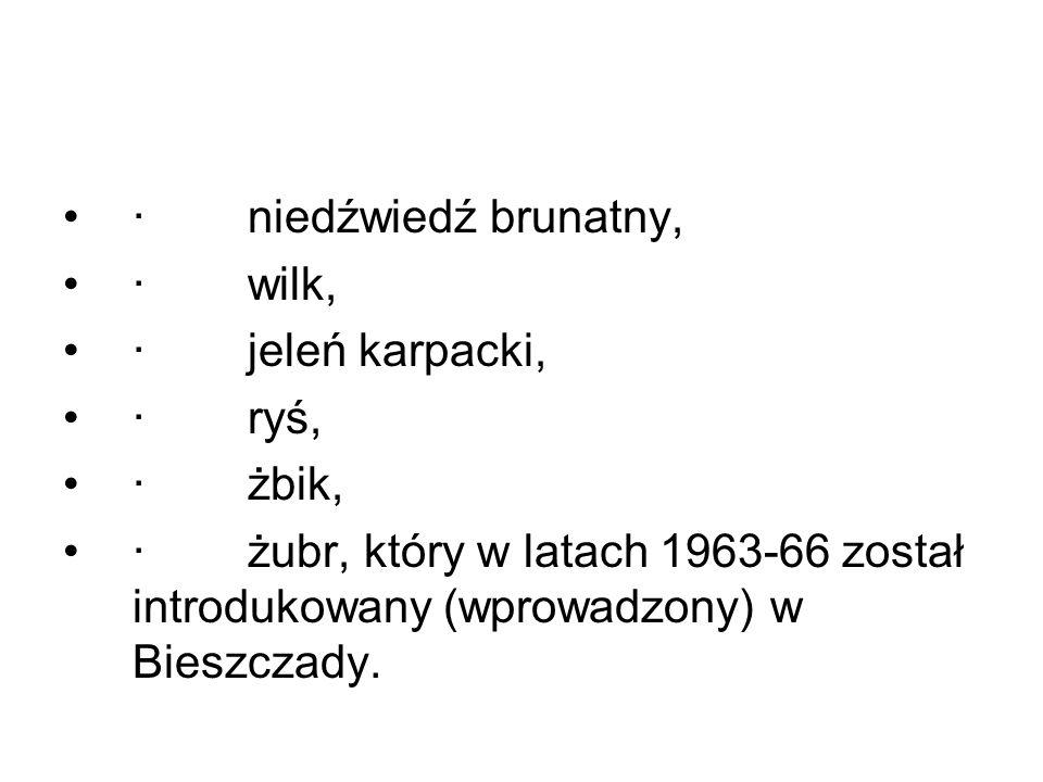 · niedźwiedź brunatny, · wilk, · jeleń karpacki, · ryś, · żbik, · żubr, który w latach 1963-66 został introdukowany (wprowadzony) w Bieszczady.