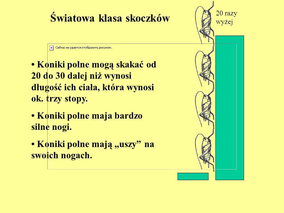 Światowa klasa skoczków 20 razy wyżej Koniki polne mogą skakać od 20 do 30 dalej niż wynosi długość ich ciała, która wynosi ok. trzy stopy. Koniki pol