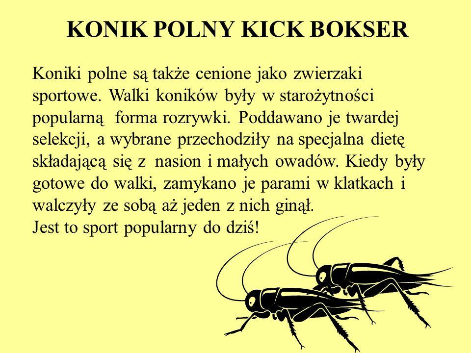 KONIK POLNY KICK BOKSER Koniki polne są także cenione jako zwierzaki sportowe. Walki koników były w starożytności popularną forma rozrywki. Poddawano