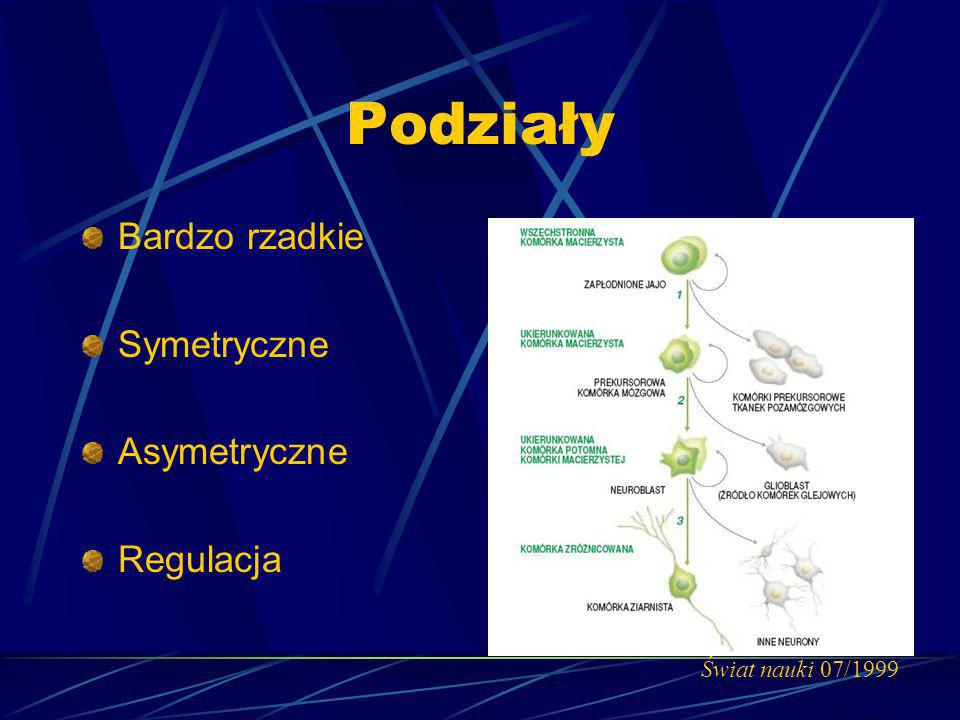 Podziały Bardzo rzadkie Symetryczne Asymetryczne Regulacja Świat nauki 07/1999