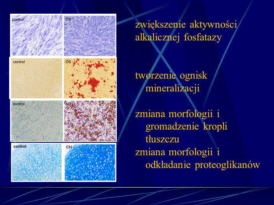 zwiększenie aktywności alkalicznej fosfatazy tworzenie ognisk mineralizacji zmiana morfologii i gromadzenie kropli tłuszczu zmiana morfologii i odkład