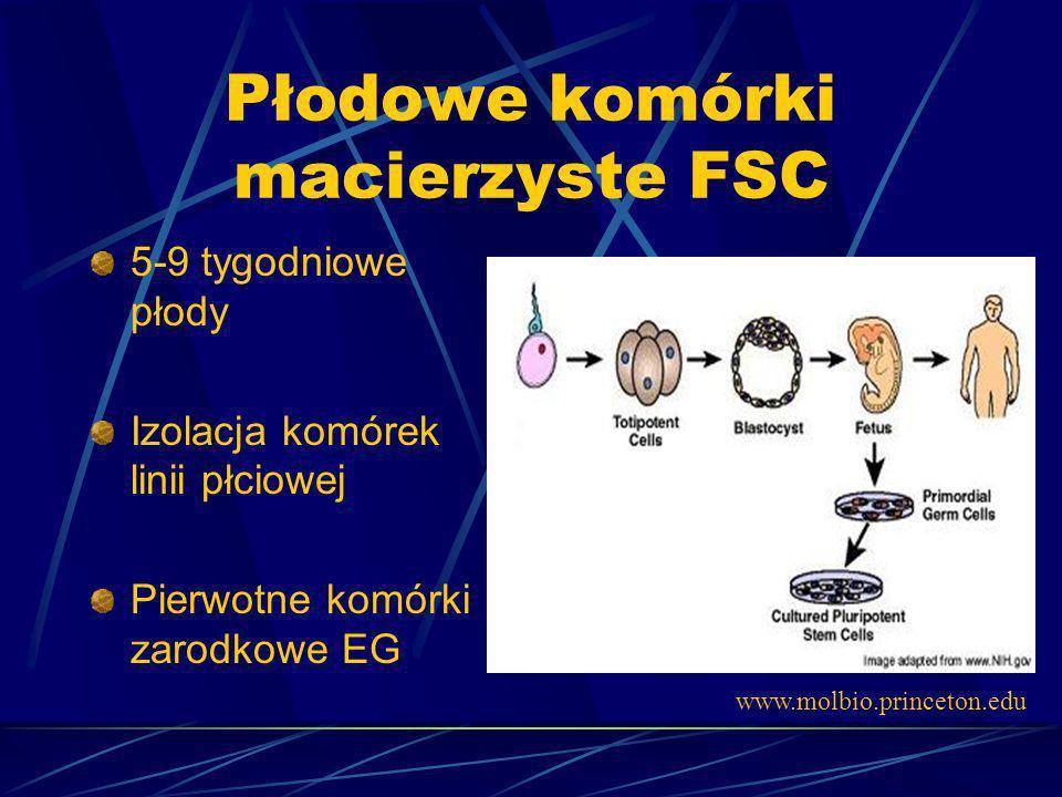 Płodowe komórki macierzyste FSC 5-9 tygodniowe płody Izolacja komórek linii płciowej Pierwotne komórki zarodkowe EG www.molbio.princeton.edu