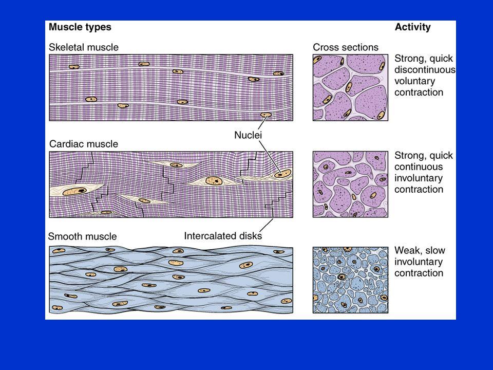 Mięśnie szkieletowe składają się z włókien mięśniowych osiągających długość 30 cm.