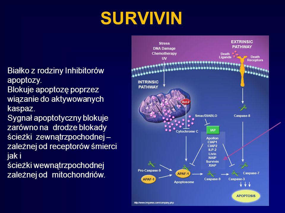 SURVIVIN Białko z rodziny Inhibitorów apoptozy. Blokuje apoptozę poprzez wiązanie do aktywowanych kaspaz. Sygnał apoptotyczny blokuje zarówno na drodz