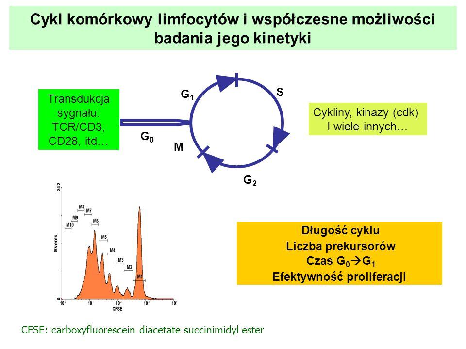 Transdukcja sygnału: TCR/CD3, CD28, itd… Cykliny, kinazy (cdk) I wiele innych… G0G0 G1G1 S G2G2 M Długość cyklu Liczba prekursorów Czas G 0 G 1 Efekty