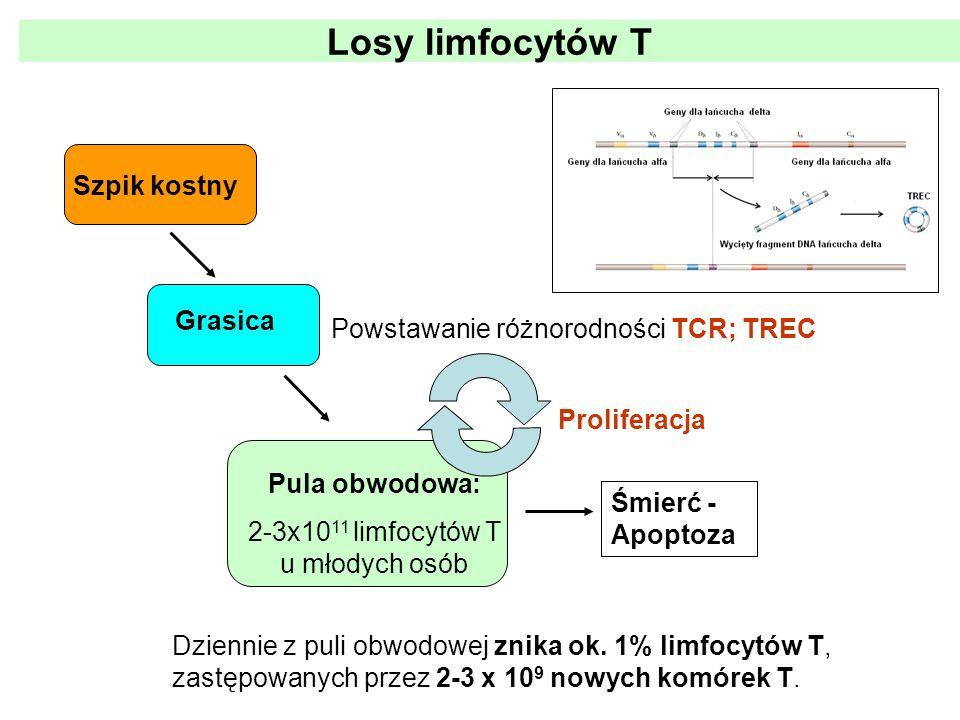 Powstawanie różnorodności TCR; TREC Proliferacja Dziennie z puli obwodowej znika ok. 1% limfocytów T, zastępowanych przez 2-3 x 10 9 nowych komórek T.