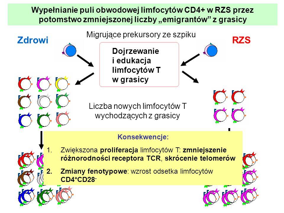 Dojrzewanie i edukacja limfocytów T w grasicy Migrujące prekursory ze szpiku Liczba nowych limfocytów T wychodzących z grasicy ZdrowiRZS Efekt prolife