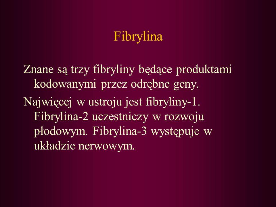 Fibrylina Znane są trzy fibryliny będące produktami kodowanymi przez odrębne geny. Najwięcej w ustroju jest fibryliny-1. Fibrylina-2 uczestniczy w roz