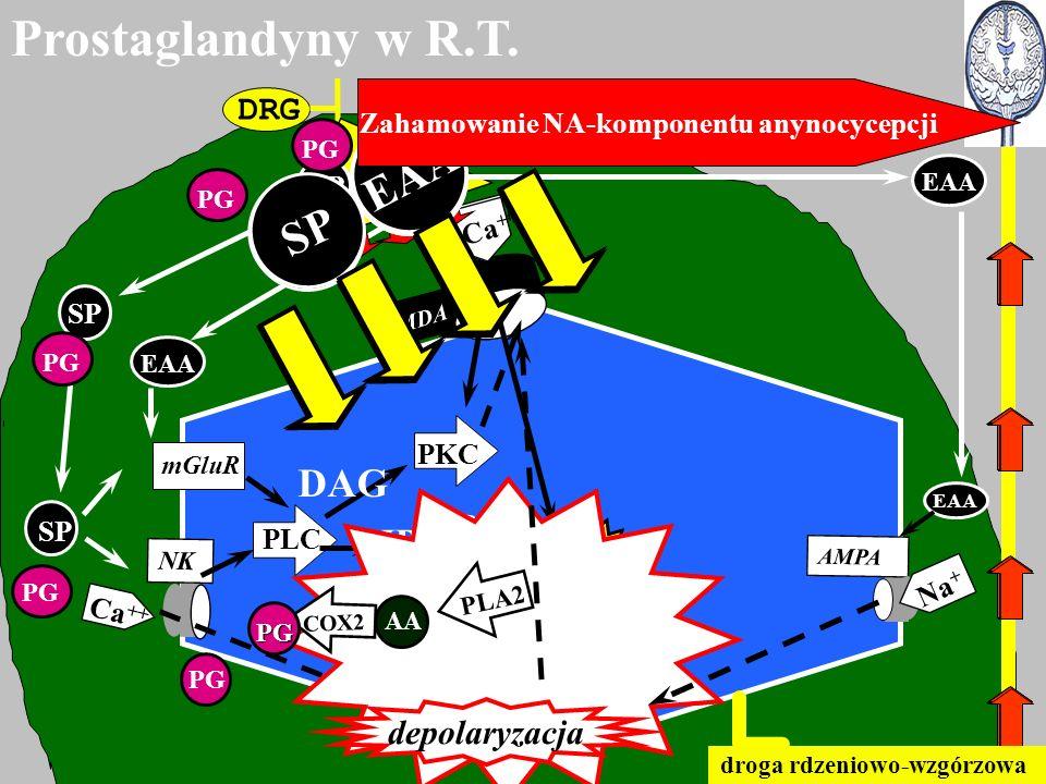 DRG SP EAA NMDA mGluR AMPA NK EAA SP Ca ++ PLC Ca PKC DAG IP3 RE depolaryzacja AA PLA2 COX2 PG PG Ca ++ EAA Na + EAA SP EAA SP EAA SP EAA droga rdzeni