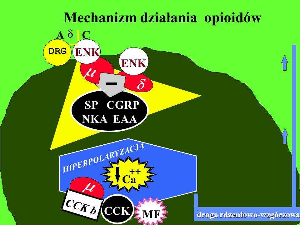 DRG Mechanizm działania opioidów A C EAA SP CGRP NKA EAA ENK droga rdzeniowo-wzgorzowa droga rdzeniowo-wzgórzowa MF Ca ++ ENK CCK HIPERPOLARYZACJA CCK