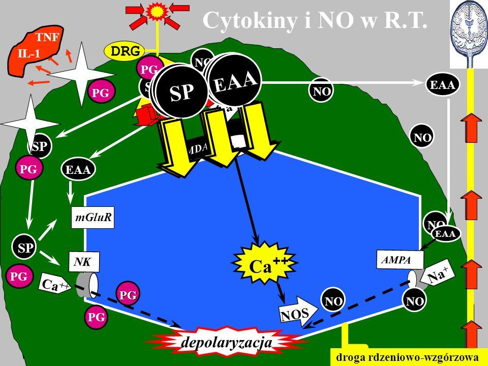 DRG Cytokiny i NO w R.T. SP EAA NMDA mGluR AMPA NK EAA SP Ca ++ depolaryzacja PG PG NO Ca ++ NO EAA Na + EAA SP EAA SP EAA SP E AA droga rdzeniowo-wzg